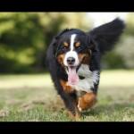 Bernese-Mountain-Dog