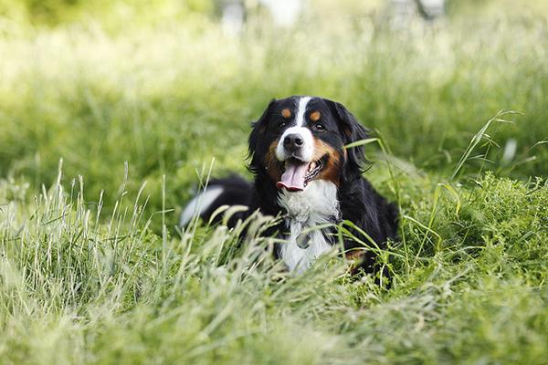 Mountain-dog-relaxing-in-shade