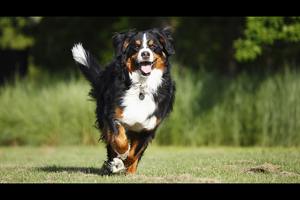 Swiss-Mountain-Dog, Berner