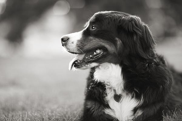 Tana-Bernese-Mountain-Dog, Sacramento-Pet-Photography
