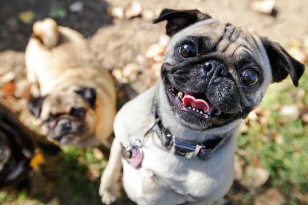 happy-pug, DFW-Pug-Rescue