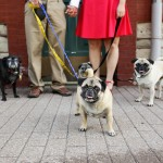 engagement-session-with-Pugs