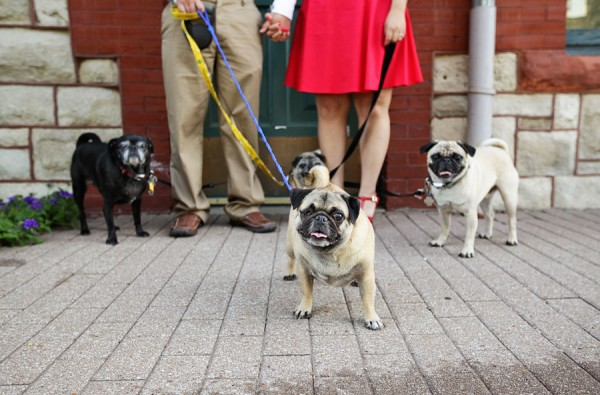 Engaging Tails:  Pugs Galore