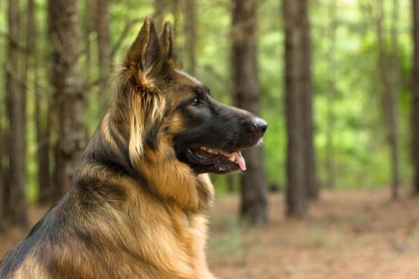 handsome-German-Shepherd