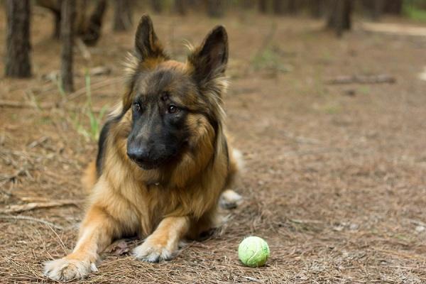 Diesel, German-Shepherd-ball
