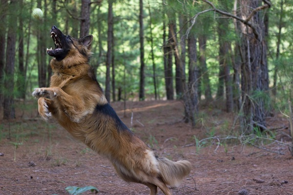 German-Shepherd-catching-tennis-ball, SC-pet-photography