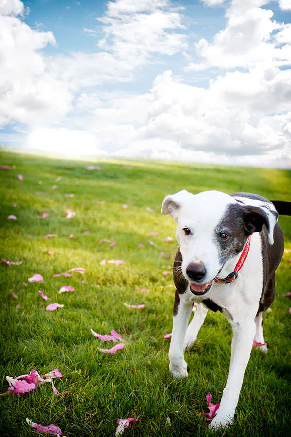 """Staffy-mix-blue-sky-""""for-the-love-of-the-dog"""""""