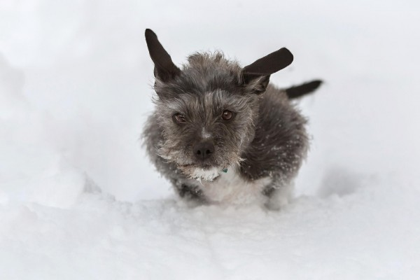 dog-flying-thru-snow, Schnauzer mix jumping in snow