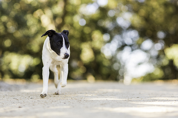 Jack-Russell-Fox-Terrier-mix-puppy