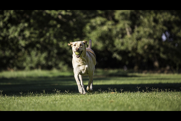 Yellow-Lab-with-tennis-ball