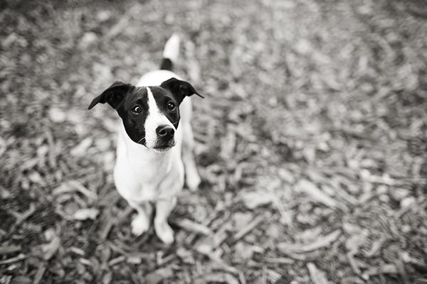 Jack-Russell-Fox-Terrier
