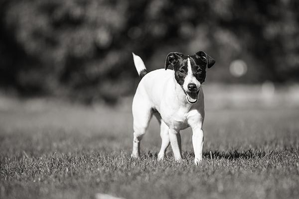 JRT-Fox-Terrier-mix,  dog-photography