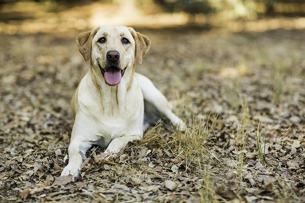 Sacramento Pet Photography, Yellow Labrador