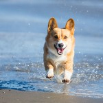 Corgi-running-on-beach