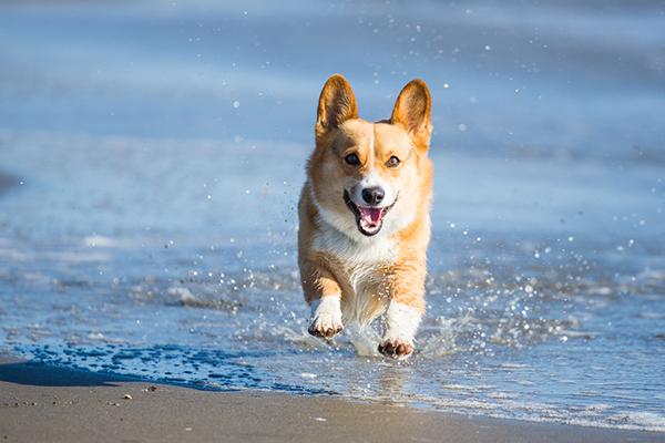Corgi-running-at-beach, Sacramento-Pet-Photography