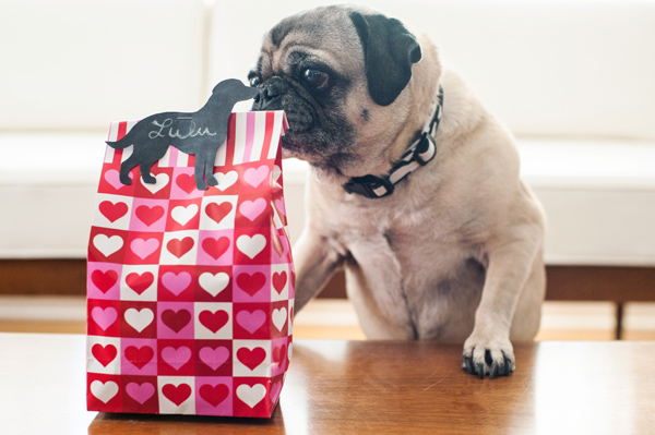 Pug-excited-about-treat-bag
