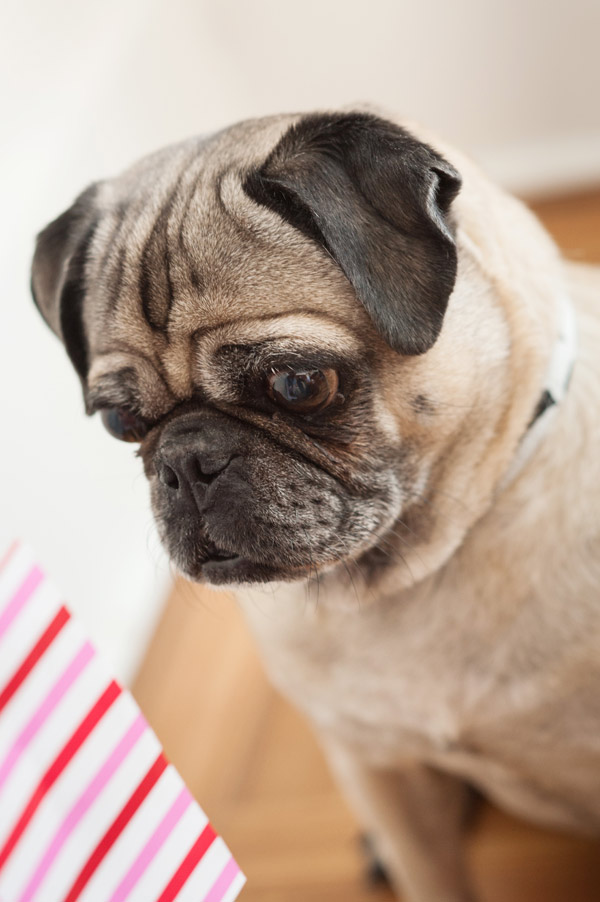 Pug-focusing-on-treat