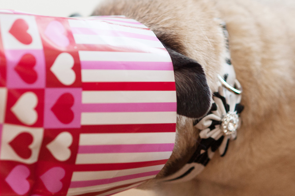 Dog-Valentines-treat, modern-pet-photography