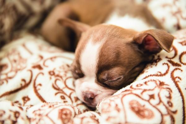 sleeping-Red-Boston-Terrier-puppy