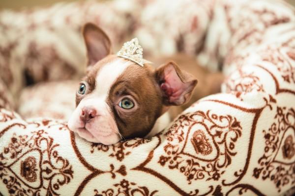 Boston-pup-princess