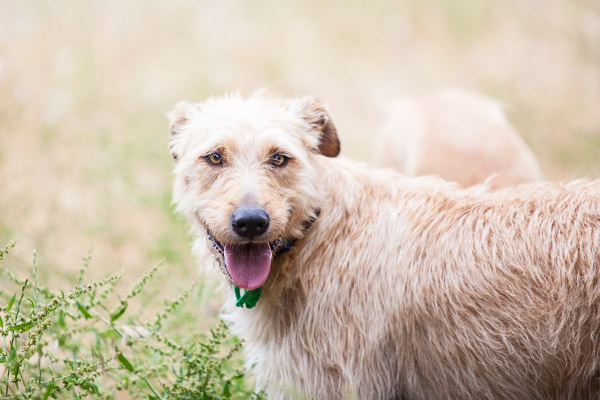 handsome-Wolfhound, worldwide-dog-photographer
