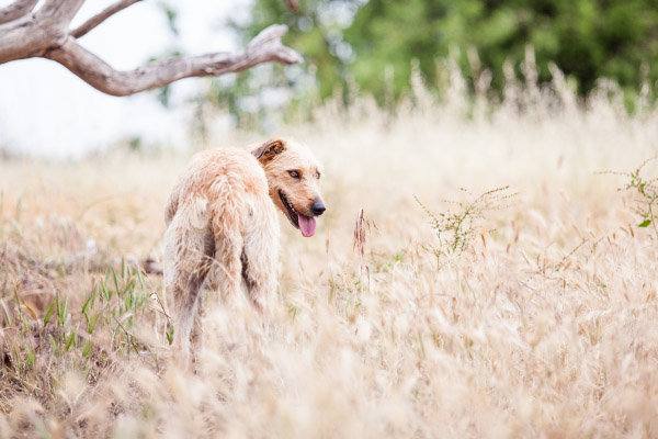 Brisbane-pet-photographer, wolfhound