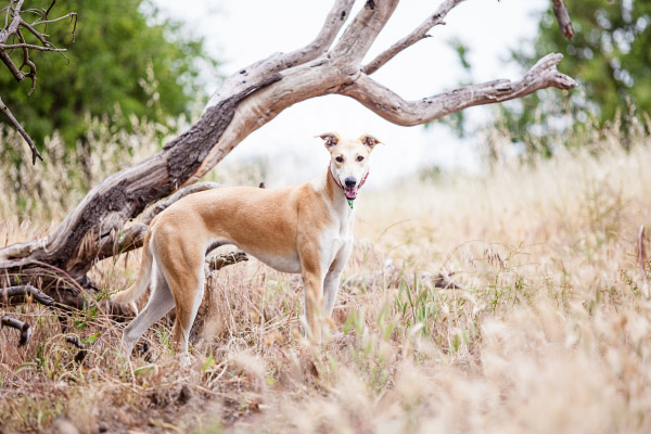 Kangaroo-dog-South-AU