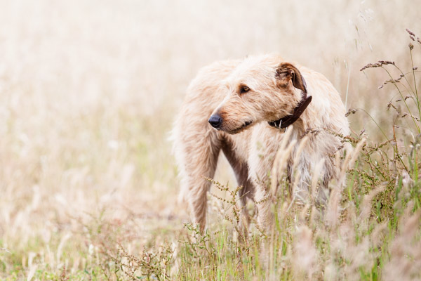 Brisbane-pet-photography, Wolfhound-in-grass