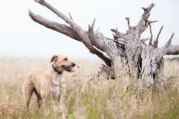 Wolfhound-in-tall-grass, Brisbane-pet-photography