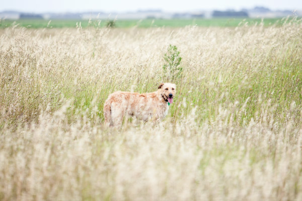 Brisbane-pet-photographer, wolfhound-in-field