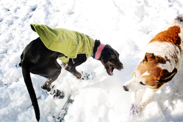 dogs-playing-in-snow,