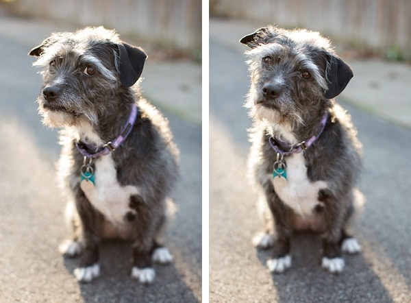 Schnauzer-Border-Terrier-mix-head-tilt