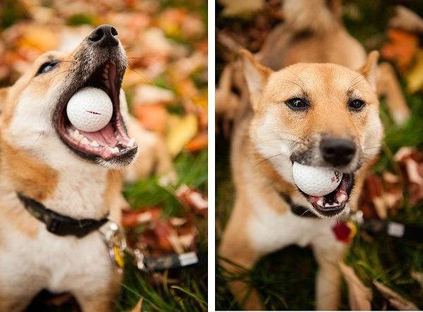 Shiba-Inu-with-golf-ball