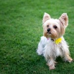 Yorkie-wearing-yellow-bow