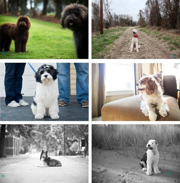 Labradoodles, Poodle, Cockerdoodle, Cavalier-Spaniel, Sheltie, Old-English-Sheepdog