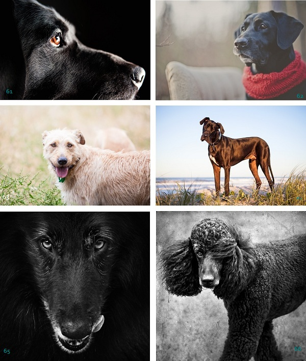 Most-Handsome-Dog-Nominees, black-labrador, wolfhound-Great-Dane, Belgian-Sheepdog, Standard-Poodle