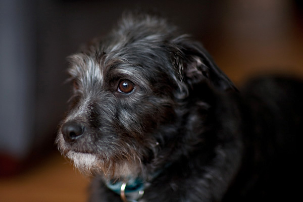 cute-adopted-Schnauzer-Border-Terrier-mix