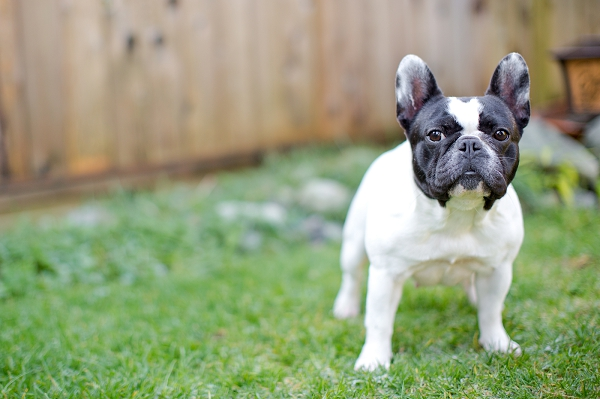 French-bulldog-in-yard, Vancouver-pet-photography