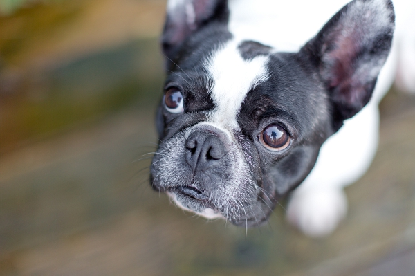 French-bulldog-white-black-head