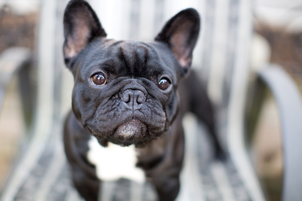 British-Columbia-Pet-Photography, adorable-Frenchie