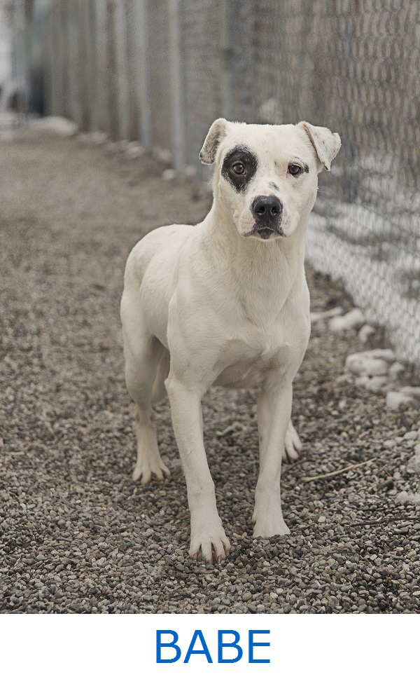 Adoptable-young-mixed-breed-Saginaw-County-Animal-Care-Center, adopt-Babe