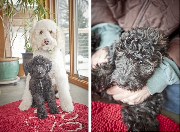 Goldendoodle-brothers-inside, Twin-Cities-Pet-photographer