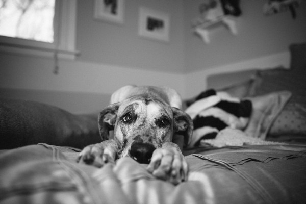 Maddie-Great-Dane, bw-dog-on-bed, Nashville-dog-photographer