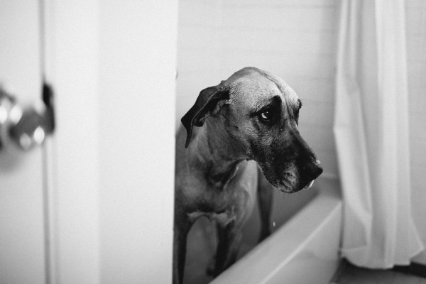 Great-Dane-in-tub, Nashville-Pet-Photographer