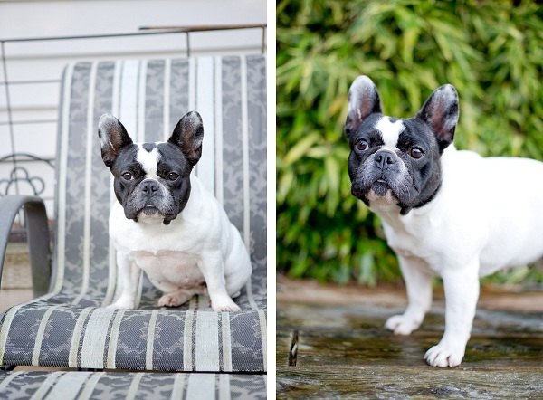 Crystal-the-Frenchie