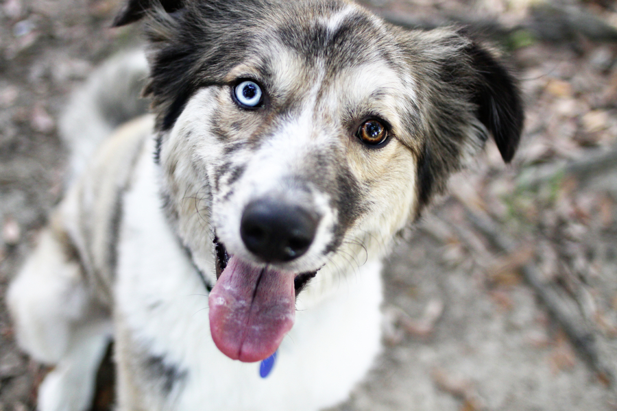 brown-eye-blue-eye-mixed-breed, Louisiana-pet-photography
