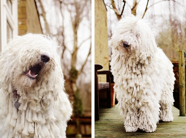 © Amber Allen, Komondor, London-dog-photographer