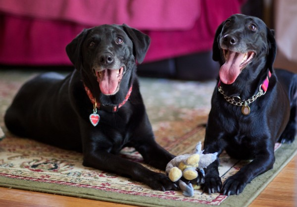 black-lab-best-friends,
