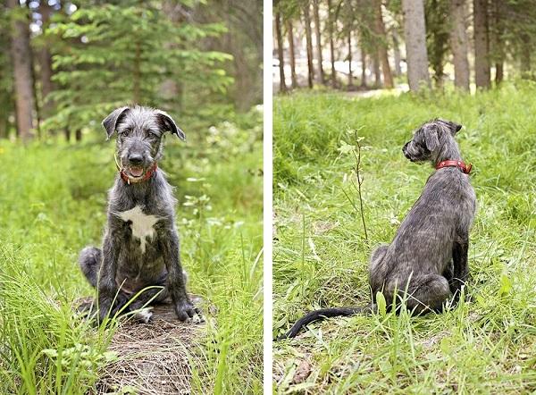 Wolfhound-puppyp-white-star-on-chest-
