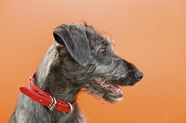 Irish-wolfhound-puppy-profile, Bannf-wedding-photographer
